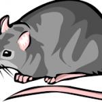 musa - rat